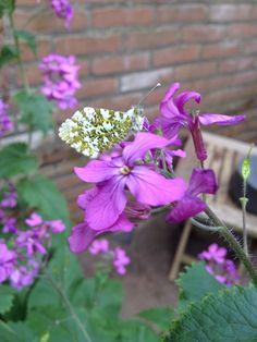 Vlinder in de tuin op een judaspenning bloem