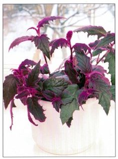 the purple velvet plant will add an exotic touch to any collection of green and variegated house plants the leaves are carried on long purple stems which