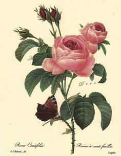 Pink roses, a Pierre Redoute Botanical Print,  -this is a good source for printable botanical art, vintage illustrations, maps, and digital supplies.