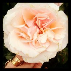 tldjite:      YSL ring & a stunning rose @ The New York Botanical Garden (Taken with instagram)