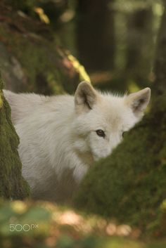Polarwolf by Xeodon on 500px