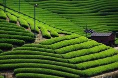京都和束町の美しい緑の茶畑