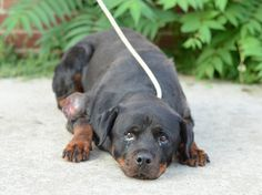 TO BE DESTROYED - 07/21/14 Brooklyn Center **NEW PHOTO**  My name is ROSIE. My Animal ID # is A1006824. I am a female black and brown rottweiler mix. The shelter thinks I am about 4 YEARS old.  I came in the shelter as a STRAY on 07/16/2014 from NY 10309, owner surrender reason stated was ABANDON.  https://www.facebook.com/photo.php?fbid=840405345972346&set=a.611290788883804.1073741851.152876678058553&type=3&theater