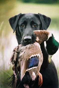 Lab and mallard! Going to be my boy soon!