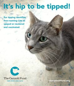 Ear tipping identifies a free-roaming of feral cat as spayed or neutered and vaccinated.