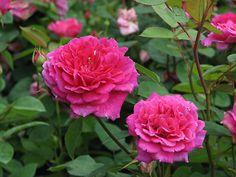 'Sophy's Rose'   Shrub rose, UK, Austin-1997