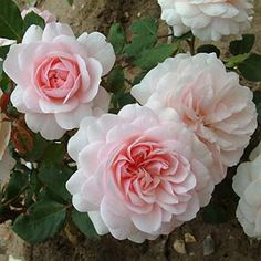 Our Beth Rose, Delightful soft blush pink flowers with a deeper centre, opening flat from rounded buds to a beautiful old fashioned cushion shape. Very fragrant.
