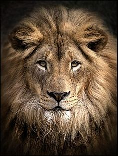 37 New ideas for tattoo lion king art big cats Lion Images, Lion Pictures, Lion And Lioness, Lion Of Judah, Beautiful Lion, Animals Beautiful, Animals And Pets, Cute Animals, Wild Animals