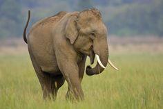 Asian Elephant: Fact Sheet: Asian Elephant - <i>Elephas maximus</i>