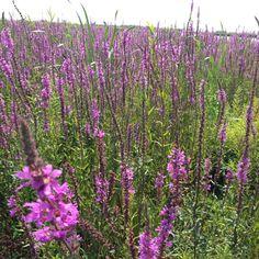 Niet een paar 'kattenstaarten' op Tiegemeten, nee meteen hele paarse velden, mooi!