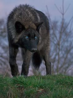 grey wolf with blue eyes | ... years gender male appearance long black fur with blue eyes personality