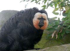 White faced saki monkey at Blackpool Zoo, love his face