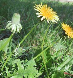 Diente de león ( taraxacum officinale) hojas tiernas crudas o cocidas, raíces jo´venes cocidas, capullos florales hervir como verdura, flores para aromatizar y decorar ensaladas