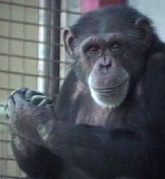Washoe (1965-2007) was the 1st non-human to learn American sign language, which she taught to 3 other chimps.
