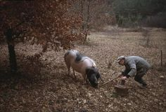 Bruno Barbey  FRANCE. Dordogne. A farmer's specially trained pig sniffs for precious truffle mushrooms, which grow below the soil. 1988.