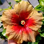 Exotic Hibiscus 'Queen of Sheba'