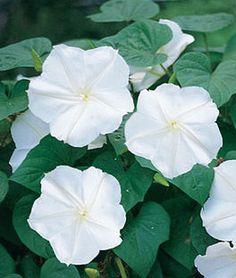Moonflower, Giant White,