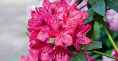 Como cultivar... Azaleias | <i>Crédito: Shutterstock