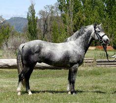 Connemara Stallion Wildwych Eclipse*-Licensed German Riding Pony- Stallion-ISR/OLD NA Sport Pony