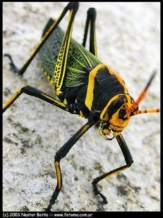 Los acrídidos, conocidos popularmente como langostas o saltamontes, son una familia de insectos ortópteros conocidos por sus grandes migraciones en masa y, en determinadas circunstancias, su capacidad de reproducirse muy rápidamente, formando devastadoras plagas capaces de acabar con la vegetación de grandes extensiones de terreno. Sin embargo, es menos conocida su enorme capacidad visual, que les permite realizar tareas complejas como el control de sus extremidades, equiparándose así con… Cute Baby Animals, Animals And Pets, Mantis Religiosa, Bed Bug Bites, Beautiful Bugs, Praying Mantis, Bugs And Insects, Mundo Animal, Pretty Photos