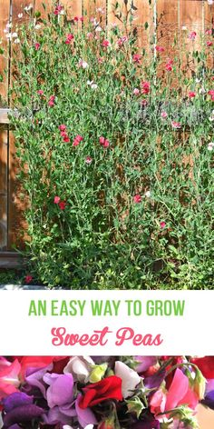 A simple method using simple supplies, for starting sweet peas.