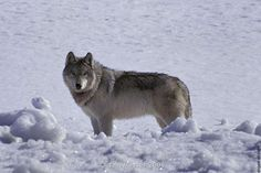 Annual wolf report shows a minimum wolf count of 536 wolves in 2015.