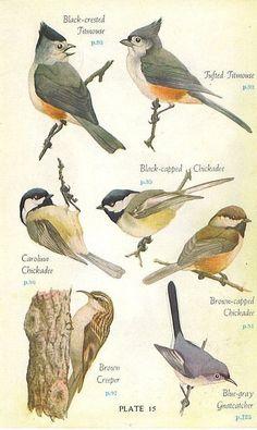 1946 Audobon Eastern Birds Book Color Plate Great Colorful Graphics x Bird Drawings, Animal Drawings, Funny Bird, Vintage Bird Illustration, Audubon Birds, Nature Sketch, Bird Poster, Bird Book, Bird Artwork