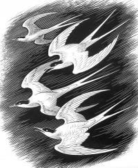 ARCTIC TERN by CLIFFORD CYRIL WEBB