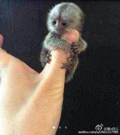 omg thumbs monkey tooo cute
