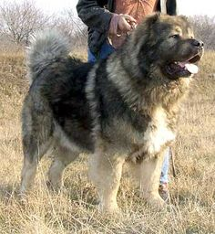 I will be purchasing a Caucasian Russian Shepherd dog before I die.