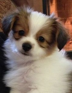 Phalène / Phalene / Papillon / Continental Toy Spaniel / Epagneul Nain Continental #Dogs #Puppy