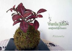 Kokedama Fittonia Red  Consultas: eve@verdejade.com  www.VerdeJade.com