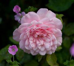 Pink Gruss an Achen by Carolyn Parker, via Flickr