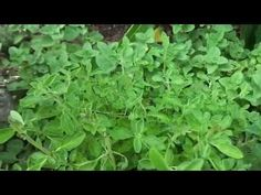 Herbs for Hens™: Five Herbs Your Chickens Will Love - YouTube