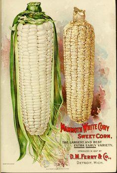 D.M.Ferry, Mammoth White Corn