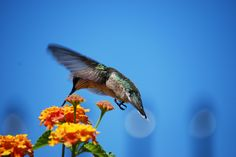 Backyard   Hummingbird