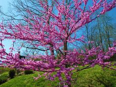 The early Spring bloom of the 'Forest Pansy' Redbud, followed by beautiful bright red heart-shaped leaves, shading into burgundy for Summer, sometimes with yellow to golden leaf color for Fall.   Photo by Ben Barrett