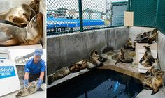 Mystery of the sick and starving sea lion pups: Hundreds of undernourished seven-month-olds rescued from California coast  http://www.dailymail.co.uk/news/article-2942836/Mystery-sick-starving-sea-lion-pups-Record-number-undernourished-young-seals-rescued-California-coast.html