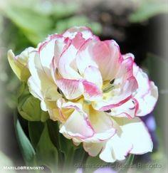 Tulipa em macro