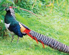 faisan-lady-amherst-elevage-a-vendre. Beautiful Birds, Animals Beautiful, Raising Pheasants, Weird Birds, Game Birds, Bird Pictures, Cute Little Animals, Exotic Birds, Animal Tattoos