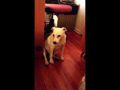 Guilty Dog Knocks Over the Trash-See How He Gets Himself Out of Trouble David Utter, Dog Trailner  1-888-959-7463 www.davidutter.com  www.trainingdogsonline.com