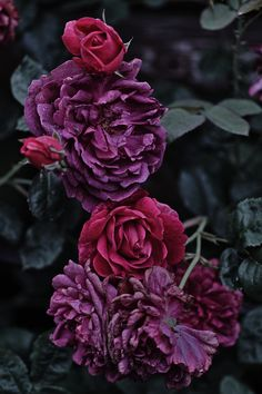 25 The Sweetest Purple Rose Garden Ideas Deep Winter, Pretty Flowers, Magenta Flowers, Dark Flowers, Purple Roses, Deep Purple, Burgundy Flowers, Colorful Roses, Plum Purple