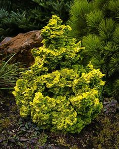 Landscaping plants Nana Lutea Hinoki Cypress For Sale Online Garden Shrubs, Garden Trees, Landscaping Plants, Arborvitae Landscaping, Landscaping Ideas, Garden Plants, Evergreen Landscape, Evergreen Garden, Dwarf Evergreen Trees
