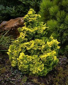 Landscaping plants Nana Lutea Hinoki Cypress For Sale Online Evergreen Shrubs, Cypress Trees, Garden Trees, Plants, Conifers Garden, Garden Shrubs, Evergreen Garden, Outdoor Plants, Landscaping Plants