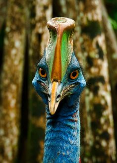 This Cassowary is Casso-Scary at first glance, but I think he has kind eyes.