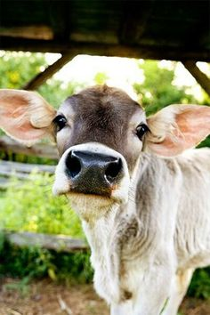 I would love to have a cow to talk to and cuddle with :) this one seems like he would be a good friend!