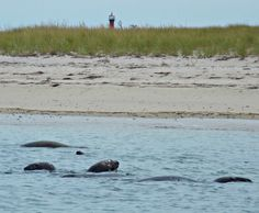 The Seals off Monomoy Island. Chatham, MA Cape Cod (the top of Monomoy Light can be seen in the distance)