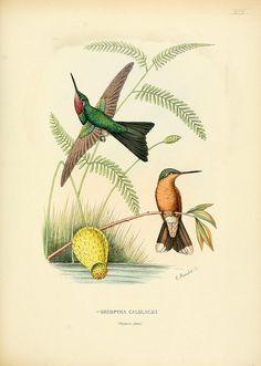 Colibris 1874-1877