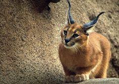 espécies de felinos- lince do deserto