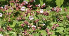 "Geranium macrorrhizum ""Spessart"" - bodembedekker halfschaduw / zon - winterhard - hoogte 30 cm - geurend blad"